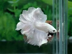 #fish #siamesefightingfish #betta £400 <- I think he sold for that much!!!