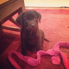 Who me?.... Noooo I didn't chew the cord of your dressing gown. It jumps from the door and wriggled down in front of me! Promise...  Puppy - chocolate labrador - chocolate lab - dog - mans best friend - love - cute - petersfield - pets - pup.