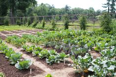 The vegetable garden continues to grow beautifully in its new location.  In this corner are all of the brassicas, like cabbage, cauliflower, broccoli, and Brussels sprouts.