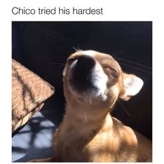 Chico is the perfect name for him 😄 - Welcome to our website, We hope you are satisfied with the content we offer. If there is a proble - Funny Animal Jokes, Funny Dog Memes, Funny Dog Videos, Cute Funny Dogs, Cute Funny Animals, Cute Animal Videos, Cute Animal Pictures, Cute Little Animals, Cute Dogs And Puppies