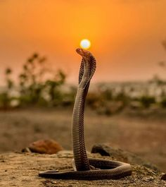 ne of my all time favourite clicks. Sun & the snake , i was just getting into photography and I happen to click this photo which is close Beautiful Snakes, Pretty Snakes, Alligators, Anaconda, Tier Fotos, Nature Animals, Wild Animals, Wildlife Photography, Sunset Photography