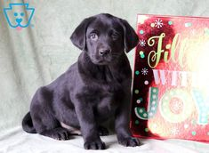 """Labrador retrievers, or """"Labs"""" as they've become fondly known, are one of the most popular dog breeds of our time. Generally known and loved for their chee Baby Labrador, Labrador Facts, Labrador Retriever, Baby Puppies, Puppies For Sale, Dogs And Puppies, Black Puppy, Black Lab Puppies, Most Popular Dog Breeds"""