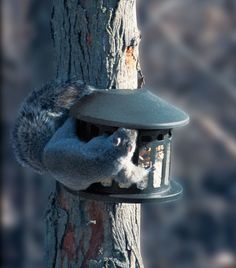 Squirrel Diner Feeder. Metal squirrel feeder can be filled with peanuts, corn or other large seeds that squirrels love. They just lift the lid and help themselves. Made of durable chew resistant powder coated steel for long life. Easy to fill and clean.