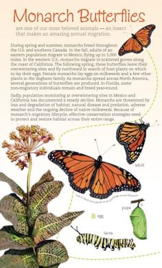 Monarchs and Milkweeds Southern U.S. brochure cover Monarch Butterfly Migration, Hummingbird Garden, Garden Birds, Growing Flowers, Butterfly Cards, Caterpillar, Brochure Cover, Habitats, Hummer