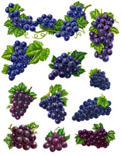 Purple grapes for labels clipart big Fruit Fruit Illustration, Food Illustrations, Botanical Illustration, Exotic Flowers, Beautiful Flowers, 12 Grapes, Grape Painting, Homemade Stickers, Vine Tattoos