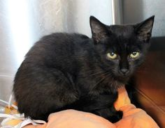 Faris: 2-month-old black beauty is out of time at high-kill upstate shelter