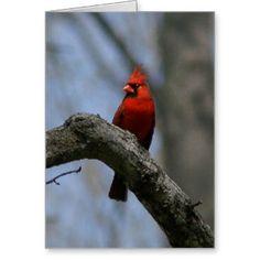 Cardinal, Greeting Card. Greeting Card