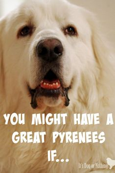 You+might+have+a+Great+Pyrenees+if...