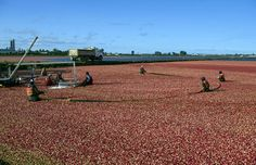 Ocean Spray Cranberries, Inc., a Grower-Owned cooperative, officially kicked off the iconic cranberry harvest this week, beginning September in British Columbia. Ocean Spray Cranberry, Job Advertisement, Photo Report, Cranberries, The Fresh, British Columbia, Harvest, Kicks, September