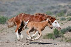 mustang mare and foal, somebody or something got to close to her baby...look at those pinned ears! She is angry!!!!