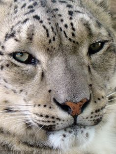 Profile of a Snow Leopard III by HeWhoWalksWithTigers