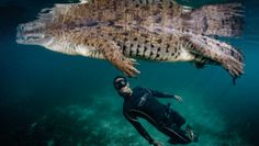 In the mangroves of Cuba, we had an incredible experience with this American crocodile. It was like swimming with a dinosaur. © Gregory Lecoeur/ 2016 National Geographic Travel Photographer of the Year Contest, Part II - The Atlantic Underwater Photographer, Underwater Photos, Travel Photographer, Fishing Photography, Wildlife Photography, Animal Photography, Underwater Caves, Underwater World, Dinosaur Photo