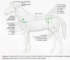 Landmarks forelimb nerve block horse horsies pinterest horse the cardiovascular system of animals lymphatic system of animal ccuart Choice Image