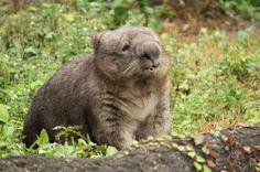 Wombat Fat Animals, Wombat, Wildlife, Creatures, Bear, Cute, Animals, Kawaii, Bears