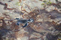 11 novembre 2013, Chale Kenya: è un vero spettacolo osservarle mentre nuotano in acqua… (Foto di Paolo Bonvini)