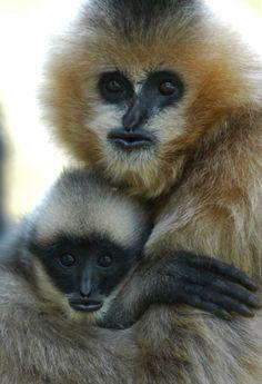 Gibbon à favoris blanc