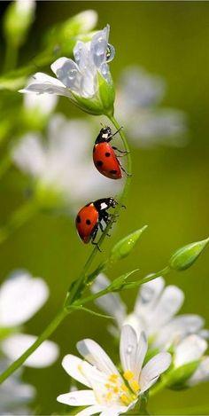 Who doesn't love a ladybird? definitely a good bug! Beautiful Bugs, Amazing Nature, Beautiful World, Beautiful Flowers, Beautiful Pictures, White Flowers, Amazing Art, Beautiful Creatures, Animals Beautiful