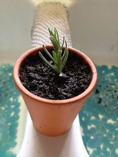 Sunshine Lavender Farm: Want MORE Lavender Plants? Root Some!