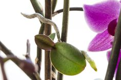 """Orchids sometimes sprout baby plants, or keikis, from their flower stems. Literally translated, """"keiki"""" is Hawaiian for """"the little one"""" -- and that's just what keikis are. They're little orchid plants."""