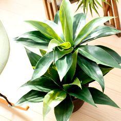 光触媒人工観葉植物、フェイクグリーンのアガベ・アッテナータ