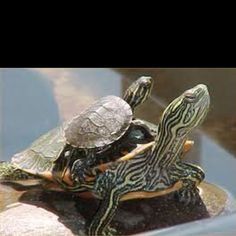 I have seen numerous suggestions for Russian tortoise diet Some great Some awful. Russian Tortoises are nibblers and appreciate broad leaf plants. Pictures Of Turtles, Animal Pictures, Cute Pictures, Cute Turtles, Baby Turtles, Sea Turtles, Aquatic Turtles, Beautiful Creatures, Animals Beautiful