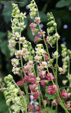 False Alumroot, Fringe Cup, Fringecup  Tellima grandiflora