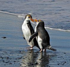 royal penguin couple- so sweet!