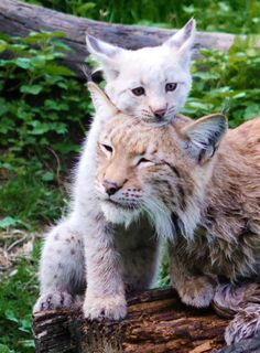 Baby Lynx and Mom by ~PedroHamers :)