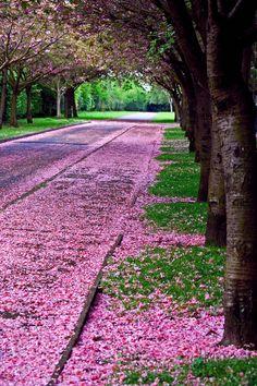 "travelingcolors: ""Cherry Blossom Path, Edinburgh   Scotland (by Stewart White) """