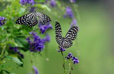 Butterflies in flight by Khoo Boo Chuan, via 500px