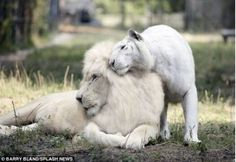 This is Ivory and Saraswati, a white lion and white tiger. In December 2013 they had the first liter of white ligers.