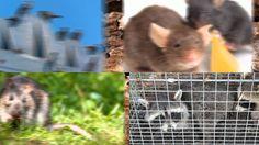 Rodent Control Combine TX 75159 Termite Treatment