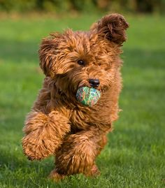 australian labradoodle...looks a lot like my Charlie, a Cavapoo...but seems to have a richer ruby red color.  Beautiful!