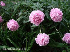 Paeonia lactiflora Sarah Bernhardt perennial