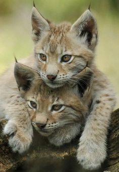 Lynx Cubs                                                                                                                                                      More