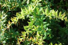 Berberitze - Berberis (Berberitze) ist eine Gattung mit etwa 450 bis 500 Arten blattabwerfender und immergrüner 0,5-4,00 m hoher Sträucher mit dornigen Trieben. Die Gattung findet sich von Natur aus in Europa, Asien, Afrika, Nordamerika und Südamerika.  Als Heckenpflanzen werden Berberitzenarten sowohl wegen ihrer zierlichen Blätter als auch wegen ihrer gelben Blüten und roten oder dunkelblauen Beeren gepflanzt.