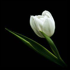 Tulip Beauty by Mfotografie.deviantart.com on @DeviantArt