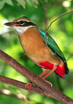 Indian Pitta (Pitta brachyura)  The 20 cm Indian Pitta is a small bird which occurs in many parts of the country. Its brilliant colors light up the dark and wet forest understory in which it leads a shy existence.   Pitta is derived from Telegu which means a small bird.  The chirp of these birds can generally be heard in the morning and in the dusk. Because of the timing of their calls, these birds are also called as six-o-clock birds in Tamil.