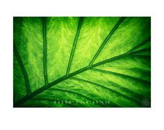 Jameos - Verde  Het mooie licht van de zon dat door de grote bladeren schijnt en hierdoor bijzondere kleuren en veel details creëert.  Gemaakt in het prachtige Jameos del Agua op Lanzarote.  Verkrijgbaar als fotoprint - canvas - aluminium - hout - acryl - digitaal  In The Picture uit de on-line galerij van intersensa