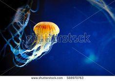 Imagen gratis en Pixabay - Marinos, Medusa, Océano, Naturaleza