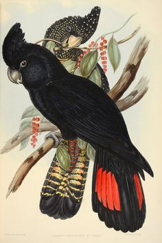 Red-tailed black cockatoo, Calyptorhynchus banksii, by John Gould, ca.1840-48. From The Birds of Australia (plate 507)