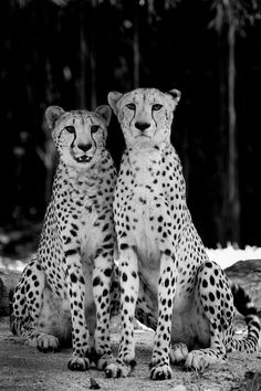 Cheetahs, Beautiful, Sleek, Trim and Fast -- interesting pic to put in black and white.  I also didn't realize how very long their front legs are -- wow!