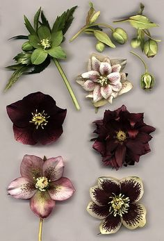 "The Hellebore or ""Christmas Rose."" Another of our fave winter flowers. They'll be the first to - subtly - bloom in your garden. Christmas Flowers, Winter Flowers, Winter Plants, Christmas Decor, Types Of Flowers, Beautiful Flowers, Buy Flowers, Shade Flowers, Bouquet Flowers"