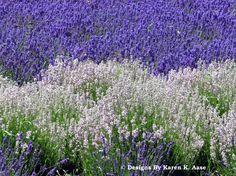 Lavender Wind  Whidbey Island Washington