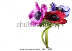 bunch of anemones on white background - stock photo