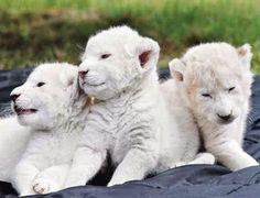 COLECCIÓN DE ANIMALES SALVAJES - LEONES BLANCOS EN PELIGRO EXTINCION…
