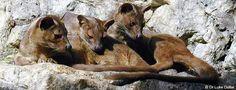 Madagascar's predator, the fosa  -  only 7% of their habitat remains.  Definitely, volunteering for animal habitat is on the bucket list.