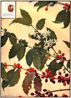 COFFEE BRANCHES, FLOWERS, AND FRUIT