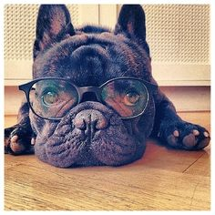 French bulldog, Boss the french bulldog on Instagram. Swedens celebrity dog…