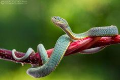 fauna del amazonas - Culebra